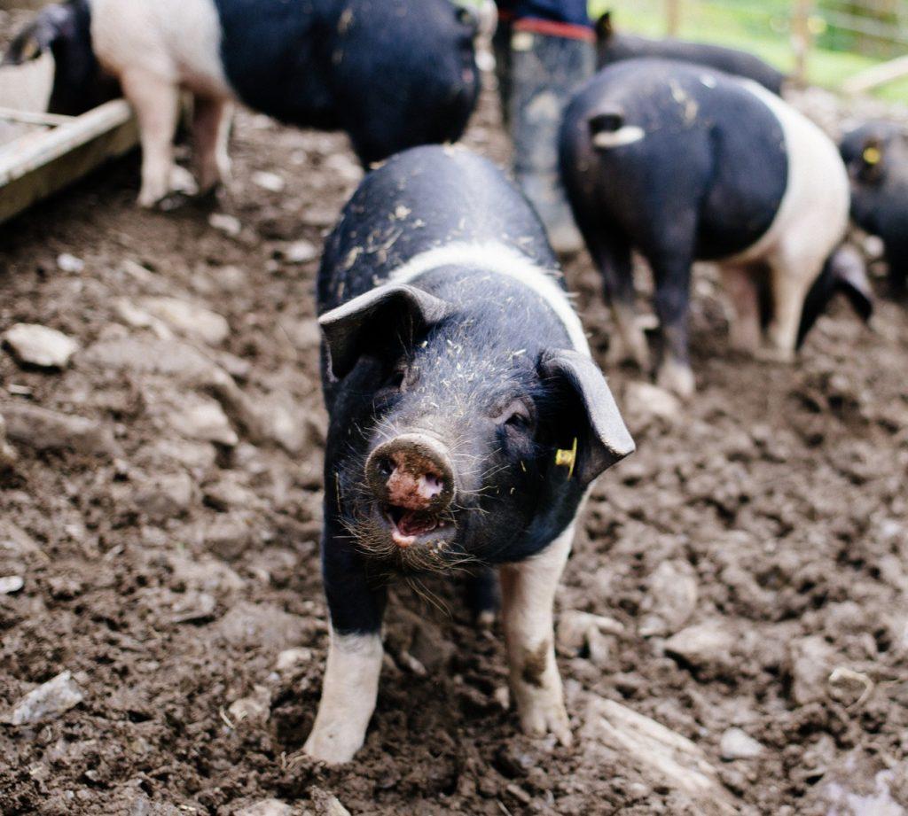 Jin Talog Pigs
